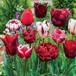 SILKSART 10 BULB Tulip Bulbs Perennial Bulbs for Garden Plan