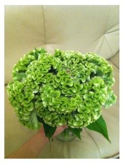 1000 Green Celosia Cockscomb Seeds Beautiful Flower Easy Gro