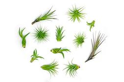 12 Air Plant Variety Pack - Small Tillandsia Terrarium Kit -