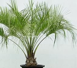 4 Seeds Peach Palm Bactris gasipaes rare tropical from Amazo