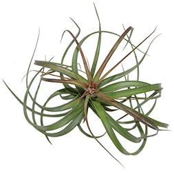 "Large Air Plants - Big ""Heather's Blush"" Air Plants - Nice 7"
