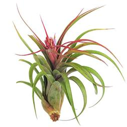 Large Air Plants - Big Streptophylla Air Plants - Nice 5 to