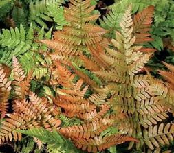 "Autumn Fern - 4"" Potted Plant - Live Plant - 1 Plant - Hardy"