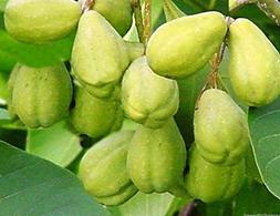 Chebulic Myrobalan Haritaki Tree 5 Seeds Aromatic Specimen H