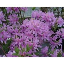 Fresh Azalea 'Orchid Lights - Starter Plant - Dormant