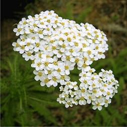 Herbal Yarrow  Medicinal Plant Heirloom Seeds, Powerful Reme