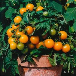 Orange Dwarf Cherry Tomato 'Venus'  Vegetable Plant Seeds, Y