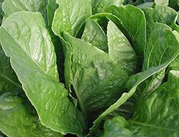 Parris Island Cos Lettuce 1000 Seeds Heirloom Romaine type s