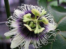 Purple Passion Fruit Vine, Passiflora Edulis, 20 Seeds