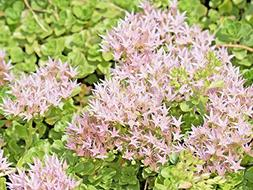 Sedum SPURIUM White Carpet, 200 Seeds, Hardy,allot of Beauti