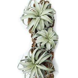3 Pack of Large Xerographica Air Plants - 5 to 7 Inches Wide